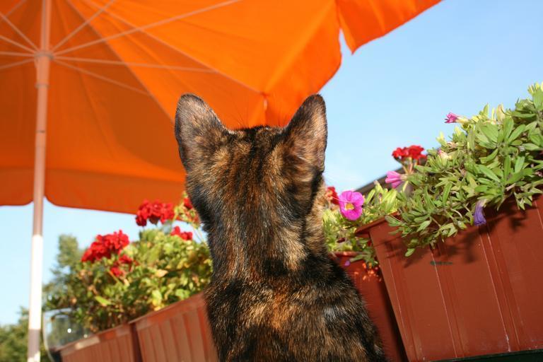 Strakatá mačka na balkóne pozerá na kvety.jpg